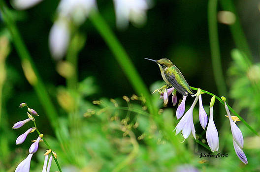 Resting Hummingbird by Jale Fancey