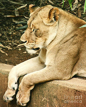 Resting Lioness by Emily Kelley