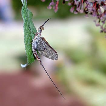 Arthur Fix - Resting Mayfly