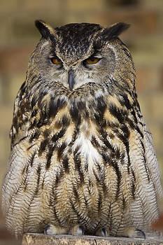 Resting Owl by Gillian Dernie