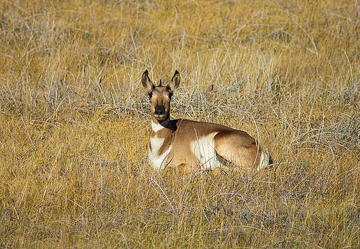 Resting Pronghorn by Sarah Crites