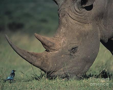 Martin Harvey - Rhino And Starling