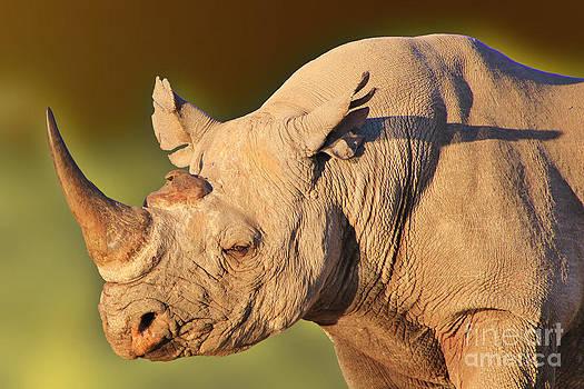 Hermanus A Alberts - Rhino Bull from Africa