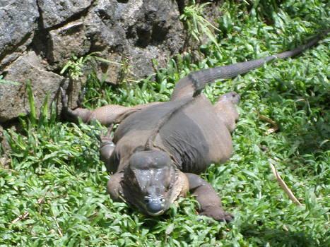 Rhinoceros  Iguana by Sunanda Yapa