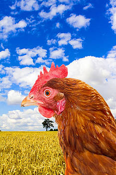 Fizzy Image - rhode island red chicken in a corn field with a bright blue sky
