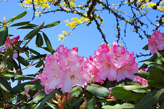 Baslee Troutman - Rhodies Flowers Art Prints Pink White Rhododendrons