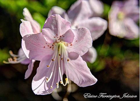 Rhododendron Blossom by Elaine Farrington Johnson