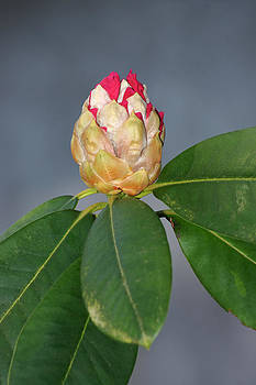 Rhododendron bud by Erik Tanghe