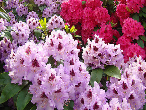 Baslee Troutman - Rhododendron Flowers Art Prints Photography Purple