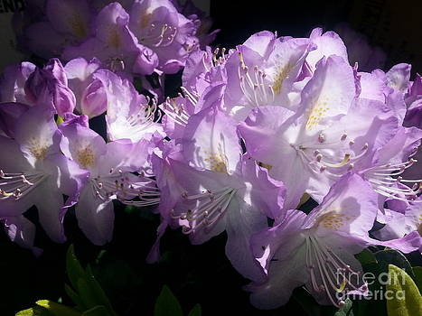 Rhododendron Madame Cochet by DJ Laughlin