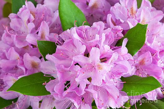 Regina Geoghan - Rhododendron Pink I