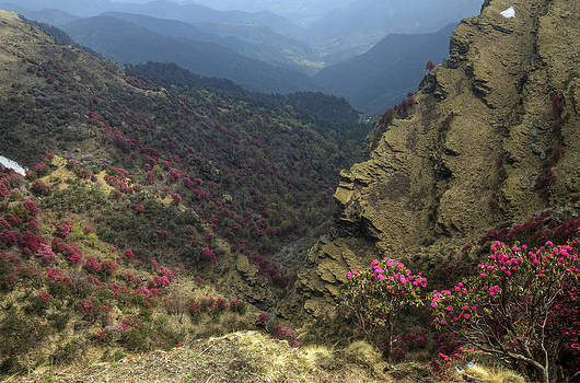 Rohit Chawla - Rhododendrons bloom in the Chopta Valley