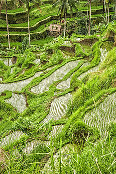 Rice Fields of Bali by Beverly Hanson