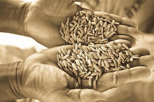 Rice in farmer hands by Keerati Preechanugoon
