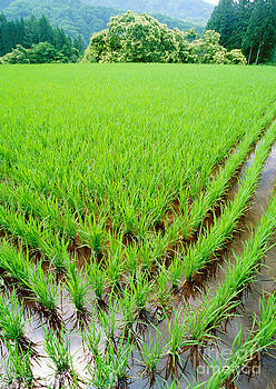 Champion Chiang - rice paddy