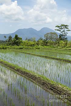 Rice Paddy Field near Sedimen in Bali Indonesia by Julia Hiebaum