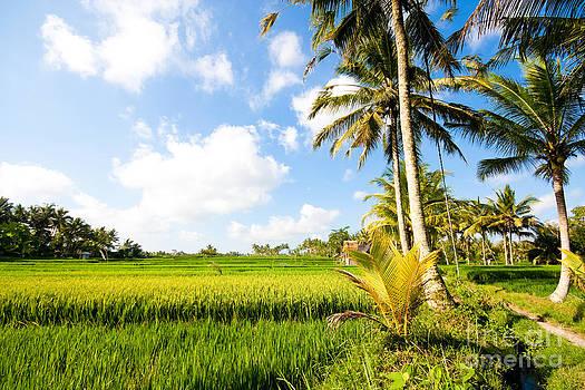 Rice paddy fields in Ubud Bali Indonesia by Fototrav Print