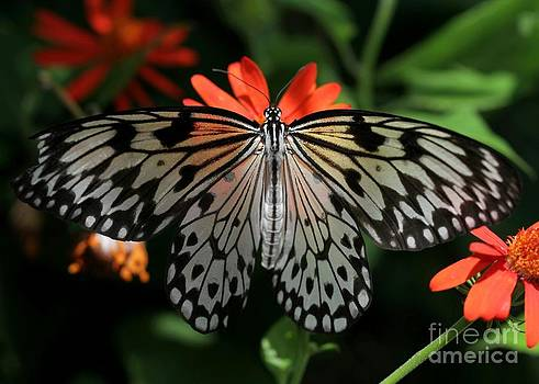 Sabrina L Ryan - Rice Paper Butterfly Elegance