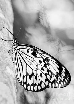 Sabrina L Ryan - Rice Paper Butterfly Hanging On