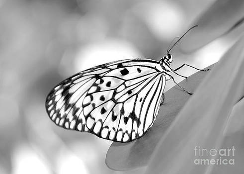 Sabrina L Ryan - Rice Paper Butterfly Resting for a Second