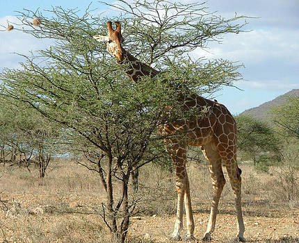 Ricticulated Giraffe by Judith Sweeney