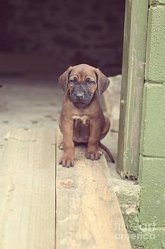 Ridgeback Puppy On Timber Plank by Gillian Vann