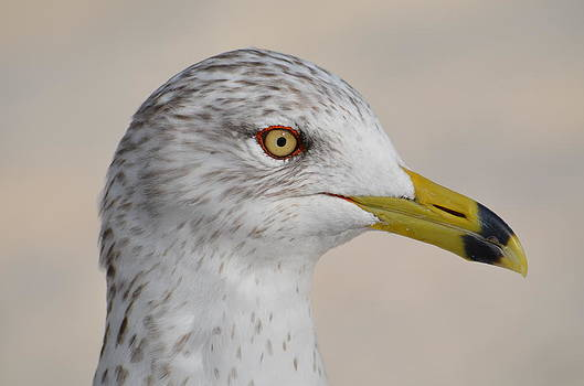 Ring-Billed Gull by Amber Bobbitt
