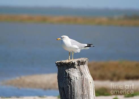 Ring-billed Gull II by GD Rankin
