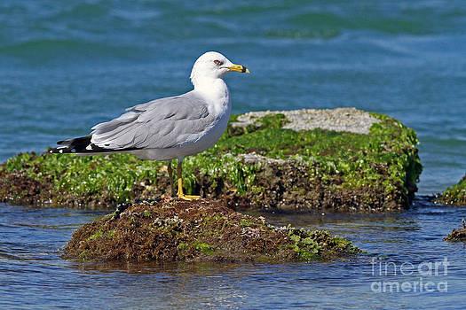 Ring-billed Gull by Jennifer Zelik