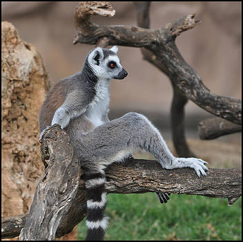 Ring Tailed Lemur by Old Pueblo Photography