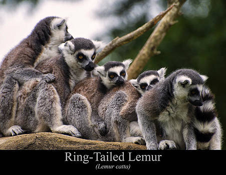 Chris Flees - ring tailed lemurs