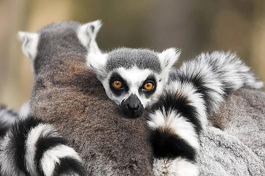 Ring Tailed Lemurs by Gillian Dernie