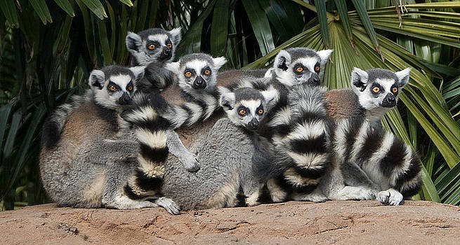 Ring Tailed Lemurs On Alert by Austin Brown