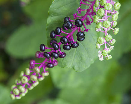 Ripening Berry by Denise Rafkind