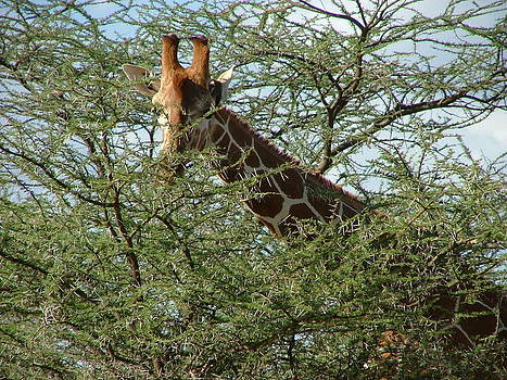 Riticulated Giraffe chewing on Acacia by Judith Sweeney