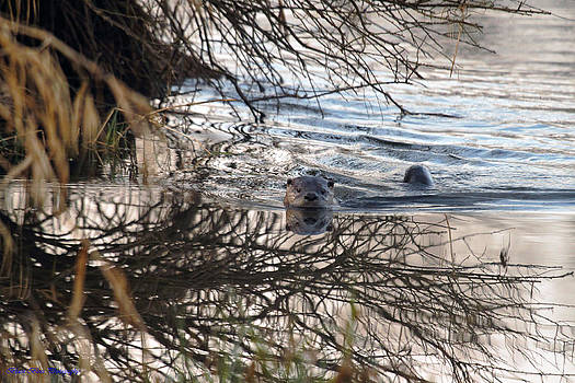 River Otter by Ed Nicholles