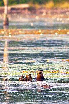 River Otters in Autumn Sun by John Stoj
