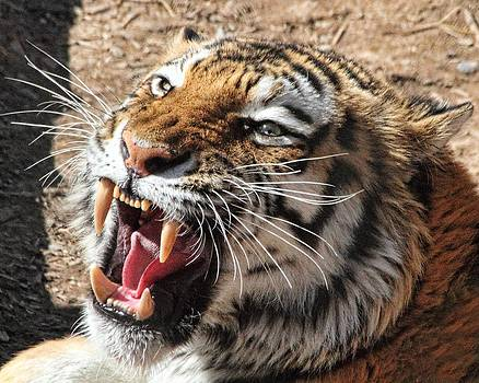Roar of the Tiger by Gene Praag