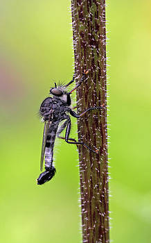 Juergen Roth - Robber Fly