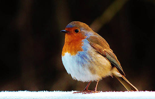 Robin by Catherine Davies