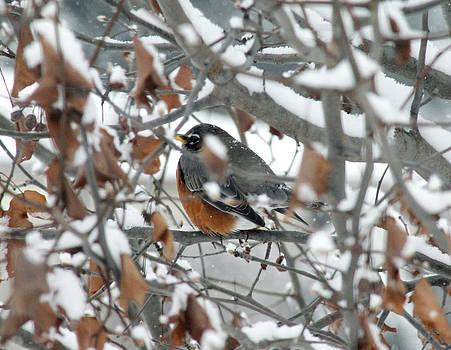 Robin in the trees by Danielle Allard