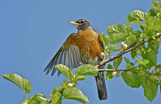 Robin-Jamaica Bay  by Bruce Colin