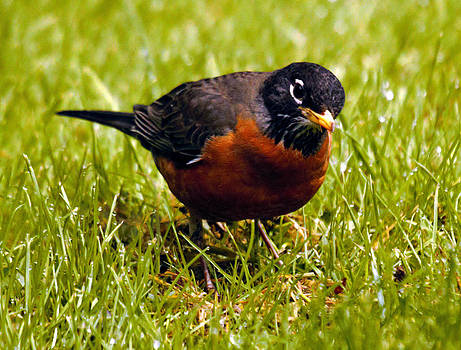 Robin Listening For Worm by Ed Nicholles