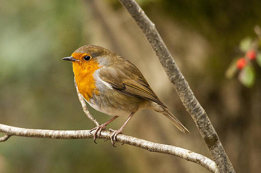 Robin Red Breast by Simon West