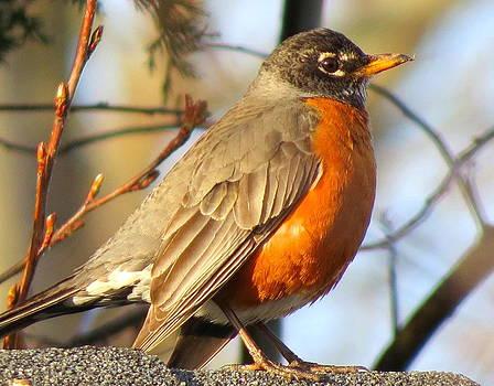 Robin by Stephen Melcher