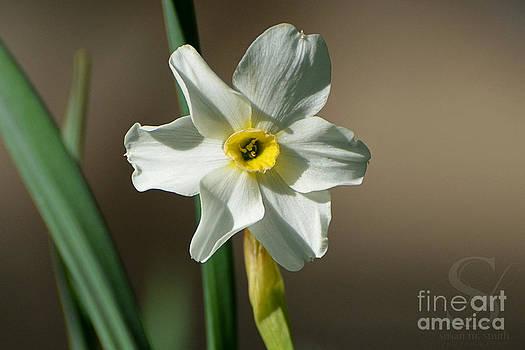 Robin's Daffodil by Susan Smith