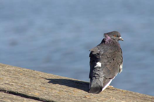 Rock pigeon by Monic LaRochelle