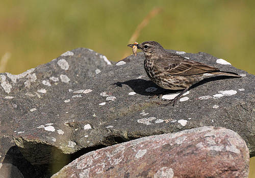 Rock Pipit by Sharon Sefton
