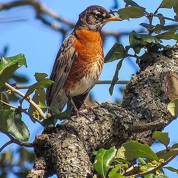 Rockin' Robin (i Bet They're So Over by Allison  Zapata