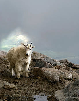 Julie Magers Soulen - Rocky Mountain Goat Kid in Colorado